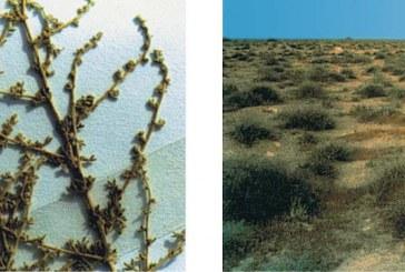 أطلس نباتات البادية الطبية ذات الاستخدام الخارجي