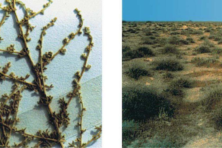 نباتات البادية